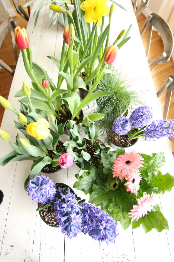 gerbera_daisies_container_garden_spring_easter_planter_flowers_white_moss_Tulips