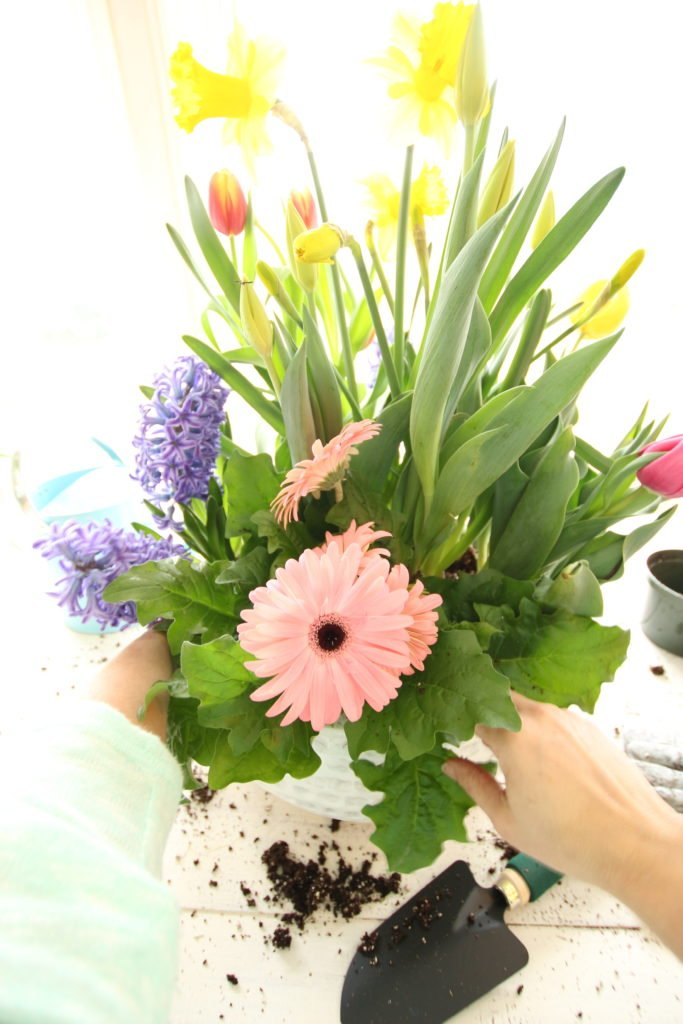 gerbera_daisies_container_garden_spring_easter_planter_flowers_white_moss_rabbits_gardening_pink